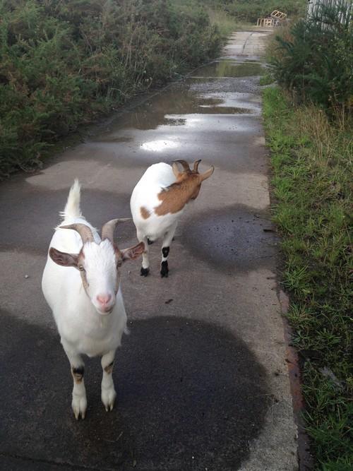 Chèvres-LAMBERT-MANUFIL